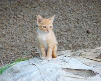 Een Welp van Binnenlandse Cat Looking Somewhere met Scherpe en Open Ogen royalty-vrije stock foto's