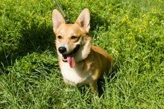 Een Welse hond van Corgi Pembroke Stock Foto's