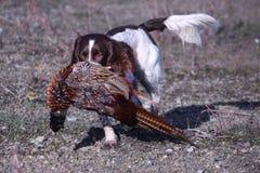 Een werkend spaniel die van de type Engels aanzetsteen een fazant dragen Royalty-vrije Stock Foto