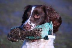 Een werkend spaniel die van de type Engels aanzetsteen een fazantmodel dragen Stock Fotografie