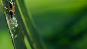 Een wesp die en kikkervisjes van glaskikker aanvallen eten, de eieren van de glaskikker royalty-vrije stock afbeelding
