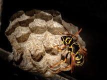 Een wesp is een type van vliegend insect stock afbeeldingen