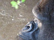Een Westelijk profiel van de Laaglandgorilla royalty-vrije stock afbeeldingen