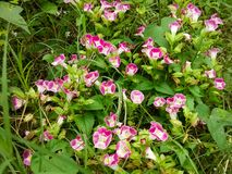 Een wetenschappelijke naam: De Linde van Toreniafournieri Is scrophulariaceae stock afbeeldingen