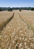 Een wheatfield klaar voor oogst Stock Foto