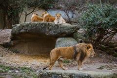 Een wijfje die van de trio Afrikaans leeuw op een rots rusten De mannelijke leeuw loopt met weelderige manen, guardes de familie  royalty-vrije stock afbeelding