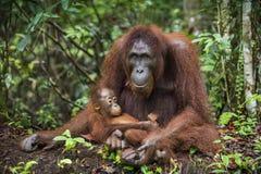 Een wijfje van de orangoetan met een welp stock afbeeldingen
