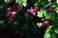 Een wijn rode bloem van een maagdelijk prieel van ` s stock foto