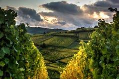 Een wijngaardgang Stock Fotografie