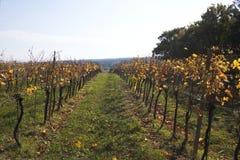 een wijnstok op een gebied in de herfst stock foto's