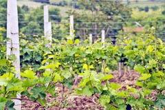 Een wijnstokaanplanting in Ohrid, Macodonia Royalty-vrije Stock Foto's