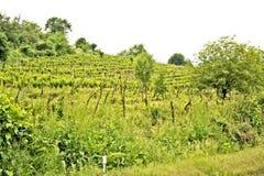 Een wijnstokaanplanting in Ohrid, Macodonia Royalty-vrije Stock Foto