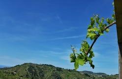 Een wijnstoktak in de blauwe hemel Stock Fotografie