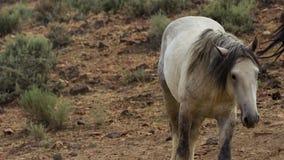 Een wild baaimustang van de Onaquai-wild paardkudde Stoically zich bevindt in de woestijn van Nevada, Verenigde Staten royalty-vrije stock foto's