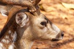 Een wild hert stock afbeeldingen