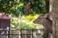 Een wild hert in het park stock foto