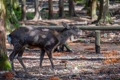 Een wild hert in het park stock foto's