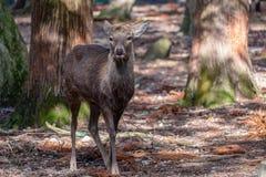 Een wild hert in het park royalty-vrije stock fotografie