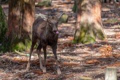 Een wild hert in het park stock afbeelding