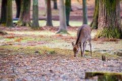 Een wild hert in het park royalty-vrije stock afbeelding