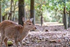 Een wild hert in het park stock afbeeldingen