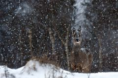 Een wild ree, Capreolus-capreoluswijfje in een sneeuwstorm in winters landschap stock foto's