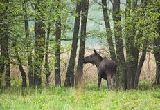 Een wilde Amerikaanse eland Royalty-vrije Stock Afbeeldingen