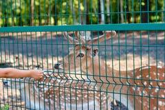 Een wilde die herbivore cervusdama in gevangenschap, in een vogelhuis, een kooi van een dierentuin onder de supervisie van mensen stock afbeeldingen