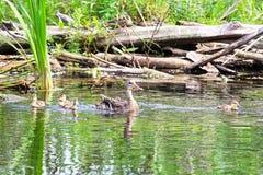 Een wilde eend en haar eendjes zwemmen in groen weerspiegelend water royalty-vrije stock afbeelding