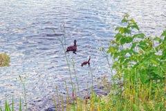 Een wilde eend met een kroost van eendjes stock foto