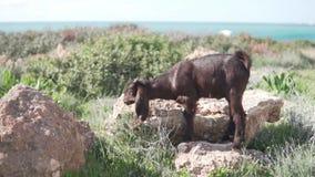 Een wilde geit eet gras op een gebied door het overzees stock videobeelden