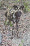 Een Wilde Hond Botswana Stock Afbeelding