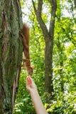 Een wilde roodharige eekhoorn op een boom in een bos neemt een noot van een man hand verticaal stock foto's
