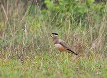 Een wilde vogel die naar voedsel van de weide zoeken stock foto