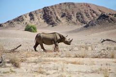 Een wilde zwarte rinoceros in Kaokoland. Stock Foto