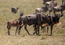 Een Wildebeest met een jong kalf stock foto