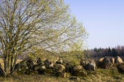 Een wilgenstruik met open mannelijk oorringenhoogtepunt van stuifmeel dichtbij een stapel van stenen op het gebied royalty-vrije stock afbeeldingen