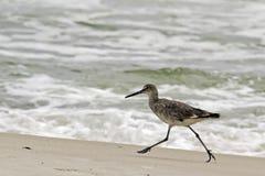 Een willet (type van strandloper) op het strand Stock Foto