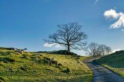 Een windende steeg van het land met het weiden van schapen Royalty-vrije Stock Afbeelding
