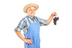 Een winemaker die een cluster van blauwe wijndruiven houdt Stock Foto's