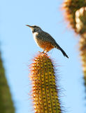 Een winterkoninkje van de Cactus Stock Foto