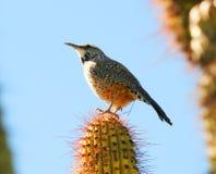 Een winterkoninkje van de Cactus Stock Foto's