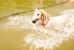 Een wit Arabisch paard royalty-vrije stock foto's