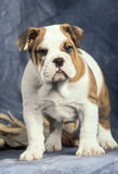 puppy buldog Royalty-vrije Stock Foto