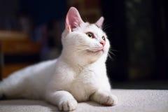 Een wit huiskat legt op de vloer stock foto