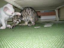 Een Wit Katje en Tabby Kitten Playing Under een Lijst Royalty-vrije Stock Afbeelding