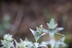 Een wit-legged damselfly op een wild gebiedskruid door de Rivier Maritsa in Bulgarije, selectieve nadruk stock fotografie