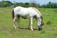 Een Wit Paard die in een Weide weiden stock foto's
