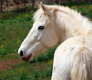 Een wit paard op een landbouwbedrijf Royalty-vrije Stock Afbeelding