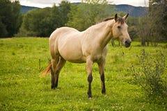Een wit paard op een weide Stock Afbeelding
